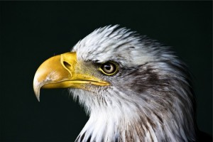 bird-animal-united-states-of-america-bald-eagle-medium-pexel